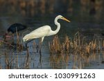 the great egret  also known as... | Shutterstock . vector #1030991263