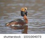 slavonian grebe  podiceps... | Shutterstock . vector #1031004073