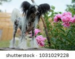 hairless chinese crested dog... | Shutterstock . vector #1031029228