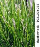 close up of blooming eleocharis ...   Shutterstock . vector #1031036038