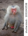 Small photo of alpha male of hamadryas baboon, papio hamadryas, sitting and resting overlooking his harem