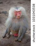 alpha male of hamadryas baboon  ... | Shutterstock . vector #1031043538