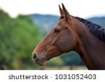 Stock photo portrait of a horse 1031052403