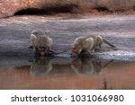 two monkey drinking water in a... | Shutterstock . vector #1031066980
