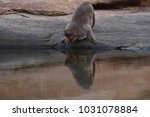 monkey drinking water in a... | Shutterstock . vector #1031078884
