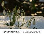 galanthus  snowdrop  galanthus... | Shutterstock . vector #1031093476