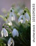 galanthus  snowdrop  galanthus... | Shutterstock . vector #1031093653