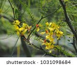 Small photo of Parkinsonia aculeata common names are Retama, Paloverde, Mexican paloverde, Jerusalem thorn, Horsebean, Lluvia de Oro. It has delicate leaves and sprays of yellow flowers in green background