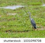grey  gray  heron  ardea...   Shutterstock . vector #1031098708