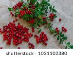 berries of red cowberry along... | Shutterstock . vector #1031102380
