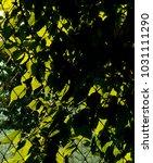the leaf background. | Shutterstock . vector #1031111290