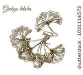 branch of ginkgo with berries.... | Shutterstock .eps vector #1031116573