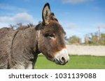herd of free roaming semi feral ...   Shutterstock . vector #1031139088