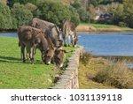 herd of free roaming semi feral ...   Shutterstock . vector #1031139118