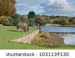 herd of free roaming semi feral ...   Shutterstock . vector #1031139130
