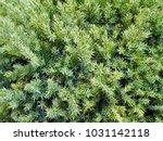 Juniper Tree Branch Texture...