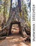 A Tunnel Cut Through A Sequoia...