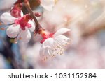 beautiful tree blossoms against ... | Shutterstock . vector #1031152984