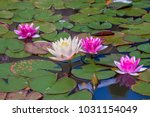 Hybrid Waterlily  Nymphaea...