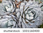 Small photo of Aerial view of Agave Palmeri Plant, California