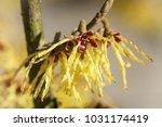 witch hazel hybride  hamamelis... | Shutterstock . vector #1031174419