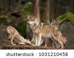 gray wolf  grey wolf  canis... | Shutterstock . vector #1031210458