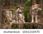 gray wolf  grey wolf  canis... | Shutterstock . vector #1031210470