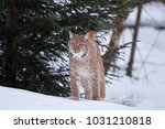 eurasian lynx  lynx lynx ... | Shutterstock . vector #1031210818