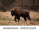 european bison  bison bonasus ... | Shutterstock . vector #1031211124