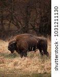 european bison  bison bonasus ... | Shutterstock . vector #1031211130