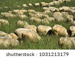 herd of sheep grazing in the... | Shutterstock . vector #1031213179