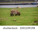 sheep on the meadow in front of ... | Shutterstock . vector #1031239198