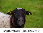 sheep on the meadow in front of ... | Shutterstock . vector #1031239210