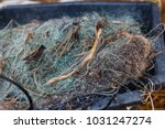 tangled fishing net in the dew... | Shutterstock . vector #1031247274