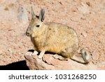 Small photo of Southern viscacha from Bolivia. Bolivian wildlife