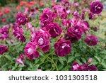Stock photo burgundy iceberg rose close up photo 1031303518