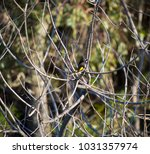 dainty chirpy  little ... | Shutterstock . vector #1031357974
