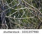 dainty chirpy  little ... | Shutterstock . vector #1031357980