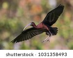 glossy ibis in florida   Shutterstock . vector #1031358493