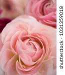 Small photo of Pink Ranunculus Flower