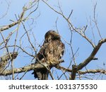 An Immature Eagle Contorts As...