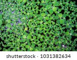 pistia  water cabbage  and...   Shutterstock . vector #1031382634
