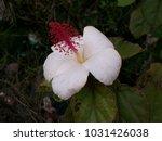 hawaiian flowers on kauai ...   Shutterstock . vector #1031426038