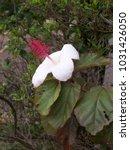 hawaiian flowers on kauai ...   Shutterstock . vector #1031426050