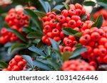 Firethorn Plant  Pyracantha