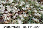 the flowers of the palm fall on ...   Shutterstock . vector #1031448820