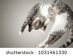 Stock photo flying or jumping funny tabby kitten cat isolated on white and gray background copy space 1031461330