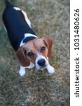 beagle dog looking up at camera.... | Shutterstock . vector #1031480626