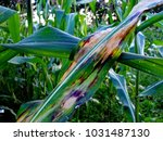 northern corn leaf blight... | Shutterstock . vector #1031487130