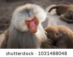 two hamadryas baboon  papio... | Shutterstock . vector #1031488048